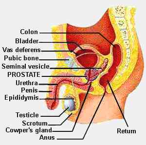 definition of vas deferens, Human Body