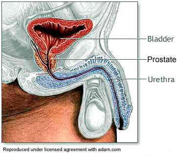 drawing showing location of the prostate gland